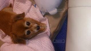 ソファーに座っている愛犬アリスの写真・画像素材[1745453]