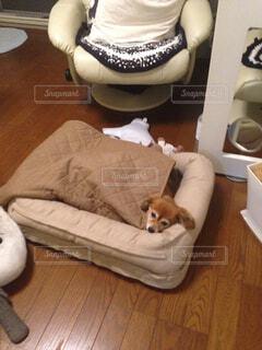 リラックスしてる愛犬アリスの写真・画像素材[1785871]