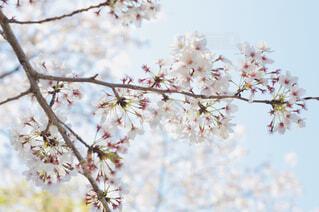 空は蒼、大地は桜の写真・画像素材[2020213]