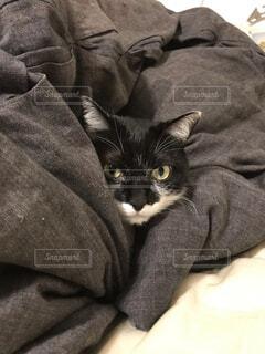 布団に埋まる猫の写真・画像素材[1742007]