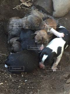 地面に横たわって羊の群れの写真・画像素材[1731741]