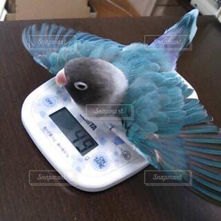 体重測定中のボタンインコの写真・画像素材[2038070]