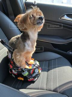 車の助手席に座っている犬の写真・画像素材[2375358]