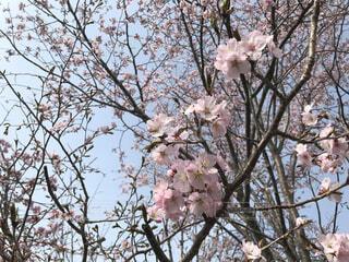 桜の木の写真・画像素材[1736009]