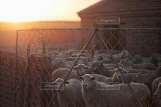 羊小屋の羊の写真・画像素材[1741480]