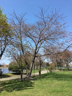 桜の写真・画像素材[458899]