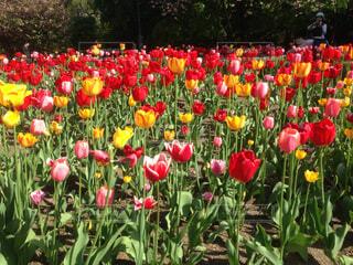 フィールドに赤い花の写真・画像素材[1734116]
