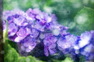 紫陽花の写真・画像素材[1808970]