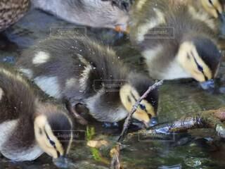 3羽で仲良く水分補給の写真・画像素材[4769958]