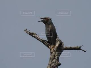 歌う鳥の写真・画像素材[4770068]
