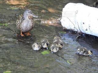 鴨の親子の写真・画像素材[4770077]