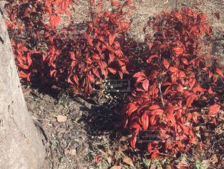 庭の赤の写真・画像素材[1786767]