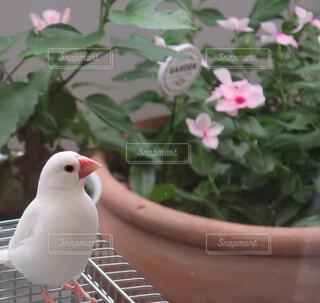 文鳥のはくとお花の写真・画像素材[2144863]