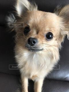 愛犬のウルル目がうるうるしてるの写真・画像素材[1747346]