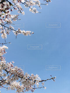 満開の桜の下での写真・画像素材[4288987]