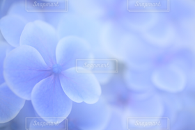 自然,花,春,夏,雨,あじさい,青,紫陽花,ブルー,梅雨,ソフトフォーカス