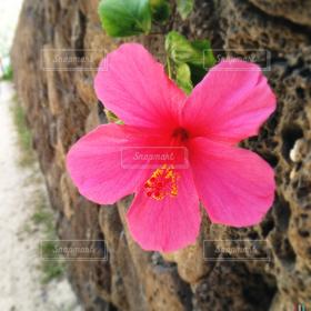 自然,花,夏,ハイビスカス,ハワイ