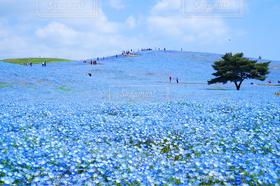 花畑,世界の絶景,青,ネモフィラ,blue,国営ひたち海浜公園,茨城県,ネモフィラの丘,ひたちなか市