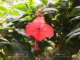 自然,花,ハイビスカス,アジア,赤い花,美しい,パリ