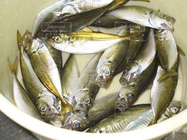 魚,バケツ,釣り,大漁,海釣り,アジ,釣果
