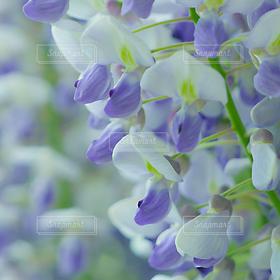 自然,風景,花,お花畑,きれい,紫,可愛い,藤棚