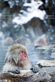 猿,温泉,動物,温泉猿,地獄谷温泉