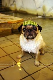 犬,パグ,温泉,お風呂,dog,Pug,ほのぼの,入浴,ドッグ,ワンコ,カワイイ,綱吉の湯