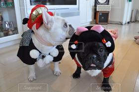 犬,フレンチブルドッグ,お正月,晴れ着,あけましておめでとう