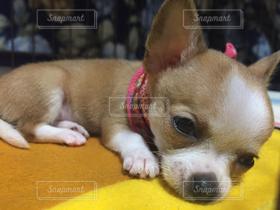 犬,動物,鼻ぺちゃ軍団,チワワ,ポメラニアン,居眠り,ペット,癒し,小さい,お休み,mix,カワイイ