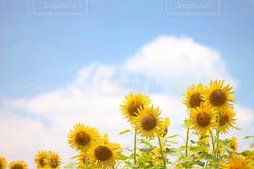風景,空,お花畑,ひまわり,青空,向日葵,ヒマワリ