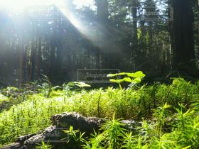自然,風景,森林,光,爽やか,神秘的,朝