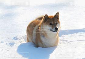 犬,動物,雪,白,柴犬,素直