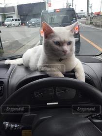 猫,車,ペット,白猫,ドライブ,愛猫