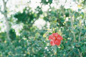 自然,風景,緑,赤,ハイビスカス,沖縄,可愛い,波照間島,最南端,草木