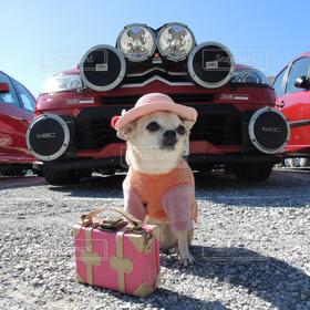 犬,チワワ派,チワワ,車,ペット,わんこ,スムチー,スムチーふうこ,スムースコートチワワ,シトロエン