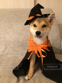 犬,ペット,ハロウィン,可愛い,柴犬,魔法使い,コスプレ
