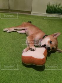 犬,パン,ペット,おもちゃ,可愛い,柴犬,子犬,食パン