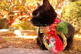 猫,ねこ,正月,しめ縄,黒猫