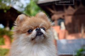 犬,ポメラニアン,愛犬,見つめる,真顔