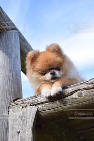 犬,ポメラニアン,休憩,愛犬,日向ぼっこ