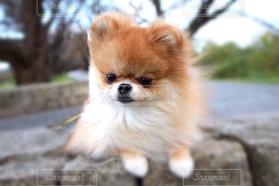 犬,公園,秋,ポメラニアン,黄昏