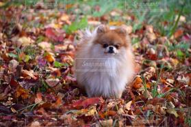 犬,自然,公園,秋,ポメラニアン,枯れ葉,落ち葉,落ち葉の絨毯