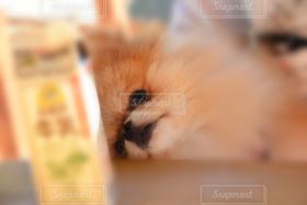 犬,ポメラニアン,見つめる,寝起き,牛乳とボク