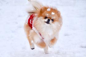 犬,冬,ポメラニアン,雪,雪景色,雪遊び