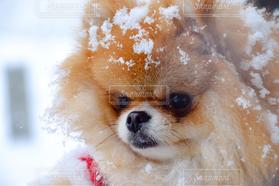 犬,冬,ポメラニアン,雪,見つめる,雪まみれ