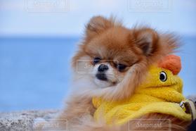 犬,海,冬,ポメラニアン,明石海峡公園