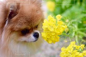 犬,春,ポメラニアン,菜の花,明石海峡公園