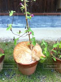 猫,夏,茶色,ねこ,可愛い,茶トラ,奇跡,家猫,ネコ,鉢植え猫