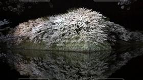 自然,風景,花,春,桜,城,夜桜,彦根城