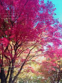 自然,風景,空,秋,紅葉,木,赤,晴れ,青,黄色,もみじ,日本